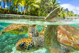 Close Up of Green Sea Turtles While Swimming with Them at the Le Meridien Resort Fotografisk tryk af Mike Theiss