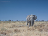 A Bull Elephant, Loxodonta Africana, Stares at the Camera in Etosha National Park Impressão fotográfica por Alex Saberi