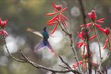 A Swallow-Tailed Hummingbird, Eupetomena Macroura, Feeding from Coral Tree Flowers Impressão fotográfica por Alex Saberi