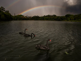 Three Black Swans on a Lake During a Storm in Ibirapuera Park, Sao Paulo, Brazil Impressão fotográfica por Alex Saberi