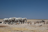 A Group of Bull Elephants, Springbok and Oryx at a Watering Hole Fotografisk tryk af Alex Saberi