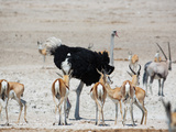 An Ostrich and Group of Springbok at a Watering Hole in Etosha National Park, Namibia Impressão fotográfica por Alex Saberi