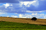 Landscape of Vineyards and Hill-Top Trees under a Sky with Fluffy White Clouds Fotografisk tryk af Babak Tafreshi