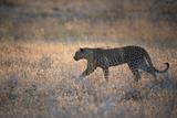 A Leopard, Panthera Pardus Pardus, Walks Through Grassland Aglow in the Setting Sun Impressão fotográfica por Alex Saberi