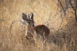 A Steenbuck, Raphicerus Campestris, Stands in Tall Grass at Sunset Impressão fotográfica por Alex Saberi