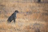 A Cheetah, Acinonyx Jubatus, on the Lookout for a Nearby Leopard at Sunset Impressão fotográfica por Alex Saberi