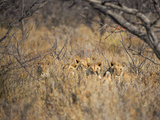 A Pride of Lionesses, Panthera Leo, Resting in Tall Grass under Trees at Sunrise Impressão fotográfica por Alex Saberi
