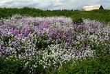 Purple and White Flowers Along a Roadside on the Gaspe Peninsula Photographic Print by Darlyne A. Murawski