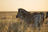 Plains Zebras, Equus Quagga, Stand in Tall Grassland at Sunset Impressão fotográfica por Alex Saberi