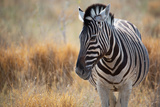 A Plains Zebra, Equus Quagga, Stands in Tall Grass at Sunset Impressão fotográfica por Alex Saberi