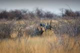 A Black Rhinoceros, Diceros Bicornis, Feeds Off a Spiny Acacia Bush at Sunset Impressão fotográfica por Alex Saberi
