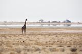 A Southern Giraffe, Giraffa Camelopardalis Giraffe, Stands on a Baking Salt Pan Impressão fotográfica por Alex Saberi