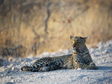 A Leopard, Panthera Pardus Pardus, Rests on a Dirt Road in Etosha National Park at Sunset Impressão fotográfica por Alex Saberi
