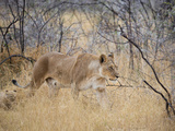 A Lioness, Panthera Leo, Walks Through Long Grass Among Trees Impressão fotográfica por Alex Saberi
