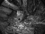 A Remote Camera Captures a River Otter 写真プリント : Charlie Hamilton James