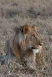 Portrait of a Male Lion, Panthera Leo, at Rest Photographic Print by Sergio Pitamitz