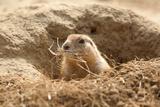 Prairie Dog Fotografisk tryk af  India1