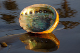 Shell of Red Abalone (Haliotis Rufescens) in Early Morning on Wet Photographic Print by Lynn M. Stone