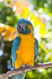 Blue-Throated Macaw (Ara Glaucogularis) Lámina fotográfica por Lynn M. Stone