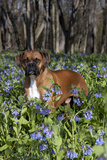 Male Boxer (Natural Ears) Standing in Virginia Bluebells, Rockton, Illinois, USA Fotoprint van Lynn M. Stone