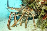Caribbean Spiny Lobst Fotografisk tryk af  AndamanSE
