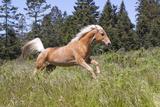 Palomino Quarter Horse Running Through Meadow at Forest Edge, Fort Bragg, California, USA Stampa fotografica di Lynn M. Stone