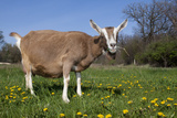 Toggenburg Goat (Female) Photographic Print by Lynn M. Stone