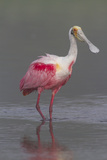 Adult Roseate Spoonbill (Platalea Ajaja) in Breeding Plumage Reproduction photographique par Lynn M. Stone