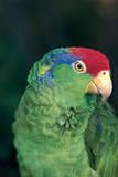 Green-Cheeked Amazon Parrot (Amazona Viridigenalis) Stampa fotografica di Lynn M. Stone