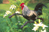 Iowa Blue Rooster Perched on Old Steel Plow Among Day-Lilies, Iowa, USA Stampa fotografica di Lynn M. Stone