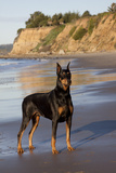 Male Doberman Pinscher Standing on Pacific Beach in Early A.M., Santa Barbara, California, USA Photographic Print by Lynn M. Stone
