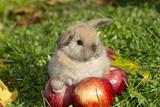 Holland Lop Rabbit Juvenile, Griswold, Connecticut, USA Photographic Print by Lynn M. Stone