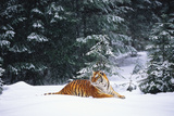 Tiger Lying in Snow Drift While Snow Falls Against a Backdrop of Evergreen Trees (Captive) Fotografisk tryk af Lynn M. Stone