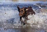 Chocolate Labrador Retriever Splashing into Pond, Madison, Wisconsin, USA Stampa fotografica di Lynn M. Stone