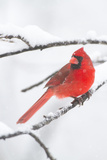Northern Cardinal (Cardinalis Cardinalis) in Snow Storm, St. Charles, Illinois, USA Photographic Print by Lynn M. Stone