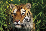 Tiger Portrait by Bamboo Leaves (Captive Animal) Fotografisk tryk af Lynn M. Stone