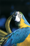 Blue and Gold Macaw (Ara Ararauna) Preening Primary Feathers on Wing Stampa fotografica di Lynn M. Stone