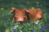 Tan Piglet Lying in Grass and Violets with Dandelions in Background, Freeport, Illinois, USA Fotografisk tryk af Lynn M. Stone