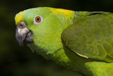 Yellow-Naped Amazon Parrot (Amazona Auropalliata) Stampa fotografica di Lynn M. Stone