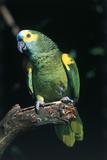 Blue-Fronted Amazon Parrot (Amazona Aestiva) Lámina fotográfica por Lynn M. Stone
