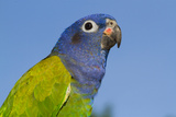 Senegal Parrot (Poicephalus Senegalus), Captive, West Africa Stampa fotografica di Lynn M. Stone