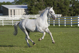 Lipizzan Stallion Cavorting in Paddock, Tempel Farms, Old Mill Creek, Illinois, USA Photographic Print by Lynn M. Stone