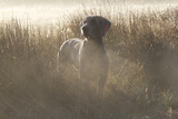 Wiemaraner Standing in Dewy Meadow Grass and Spiderwebs in Mid-October, Colchester Fotoprint van Lynn M. Stone