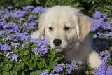Golden Retriever Puppy (Male, 7 Weeks), La Fox, Illinois, USA Fotografisk tryk af Lynn M. Stone