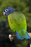 Blue-Headed Parrot (Pionus Menstruus), Captive Stampa fotografica di Lynn M. Stone