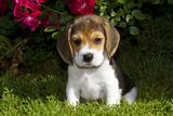 Beagle Pup, Plano, Illinois, USA Fotografisk tryk af Lynn M. Stone