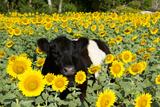 Belted Galloway Cow in Sunflowers, Pecatonica, Illinois, USA Fotografie-Druck von Lynn M. Stone