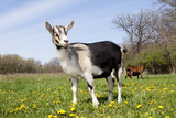 Alpine (Dairy Greed) Goat Doe Standing in Meadow, East Troy, Wisconsin, USA Photographic Print by Lynn M. Stone