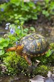 Colorful Male Eastern Box Turtle (Terrapene Carolina Carolina) Stampa fotografica di Lynn M. Stone