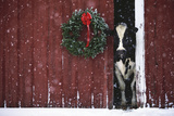 Holstein Cow Standing in Doorway of Red Barn, Christmas Wreath on Barn, Marengo Stampa fotografica di Lynn M. Stone
